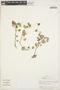 Peperomia pellucida (L.) Kunth, PERU, A. H. Gentry 15704, F