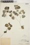 Peperomia pellucida (L.) Kunth, PERU, Ll. Williams 4460, F