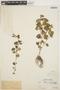 Peperomia pellucida (L.) Kunth, PERU, Ll. Williams 243, F