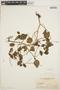 Peperomia pellucida (L.) Kunth, ARGENTINA, J. E. Montes 2288, F