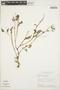 Peperomia pellucida (L.) Kunth, BRAZIL, H. S. Irwin 21087, F
