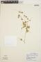 Peperomia pellucida (L.) Kunth, ECUADOR, C. H. Dodson 5155, F
