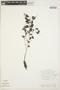 Peperomia pellucida (L.) Kunth, GUYANA, P. J. M. Maas 3500, F