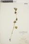Peperomia pellucida (L.) Kunth, SURINAME, J. A. Samuels 426, F