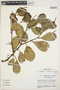 Peperomia obtusifolia (L.) A. Dietr., Peru, M. O. Dillon 4425, F