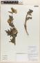 Caiophora chuquitensis image
