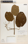 Stizophyllum inaequilaterum Bureau & K. Schum., COLOMBIA, R. Romero Castañeda 6267, F