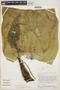Anthurium plowmanii Croat, PERU, T. B. Croat 51094, F