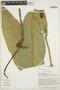 Anthurium plowmanii Croat, PERU, T. B. Croat 50987, F