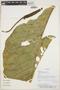 Anthurium plowmanii Croat, PARAGUAY, E. M. Zardini 45065, F