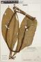 Anthurium pseudoclavigerum Croat, ECUADOR, E. Wade Davis 931, F