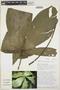 Anthurium pseudoclavigerum Croat, ECUADOR, T. B. Croat 72557, F