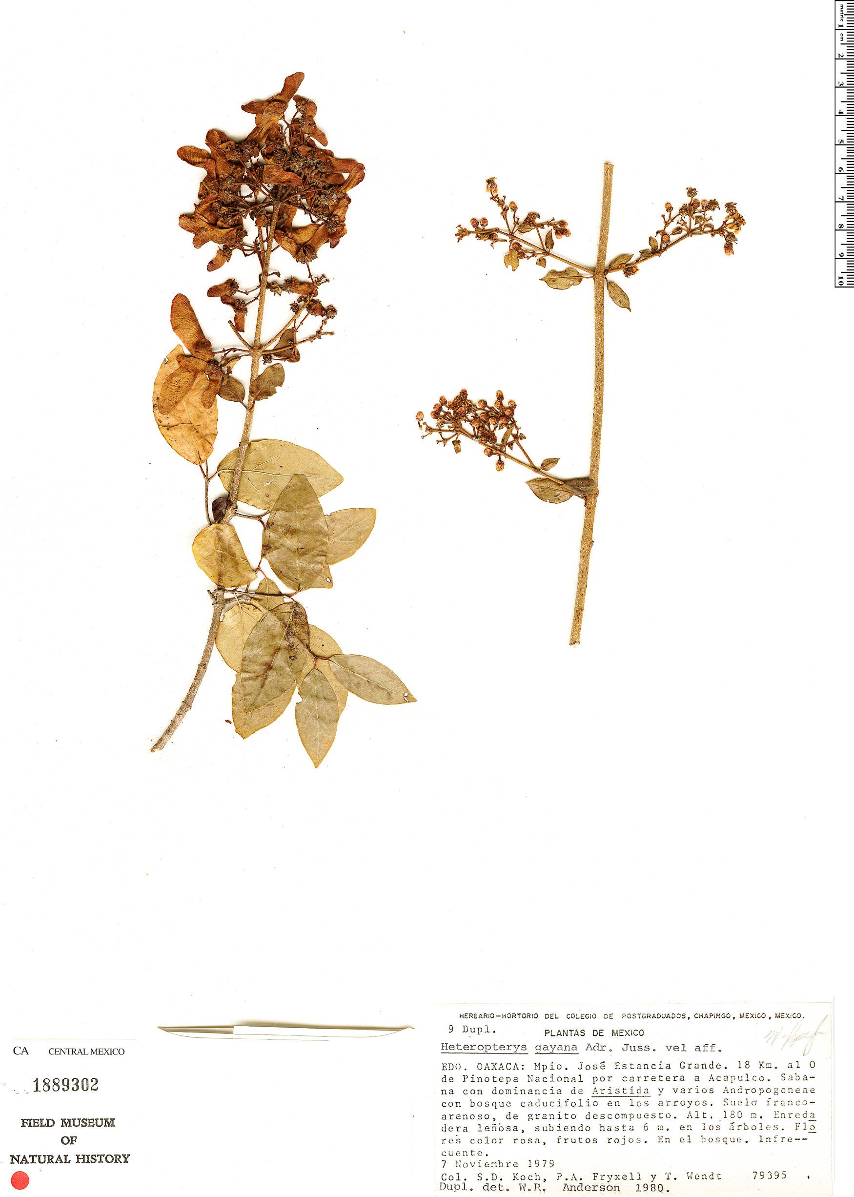 Heteropterys palmeri image
