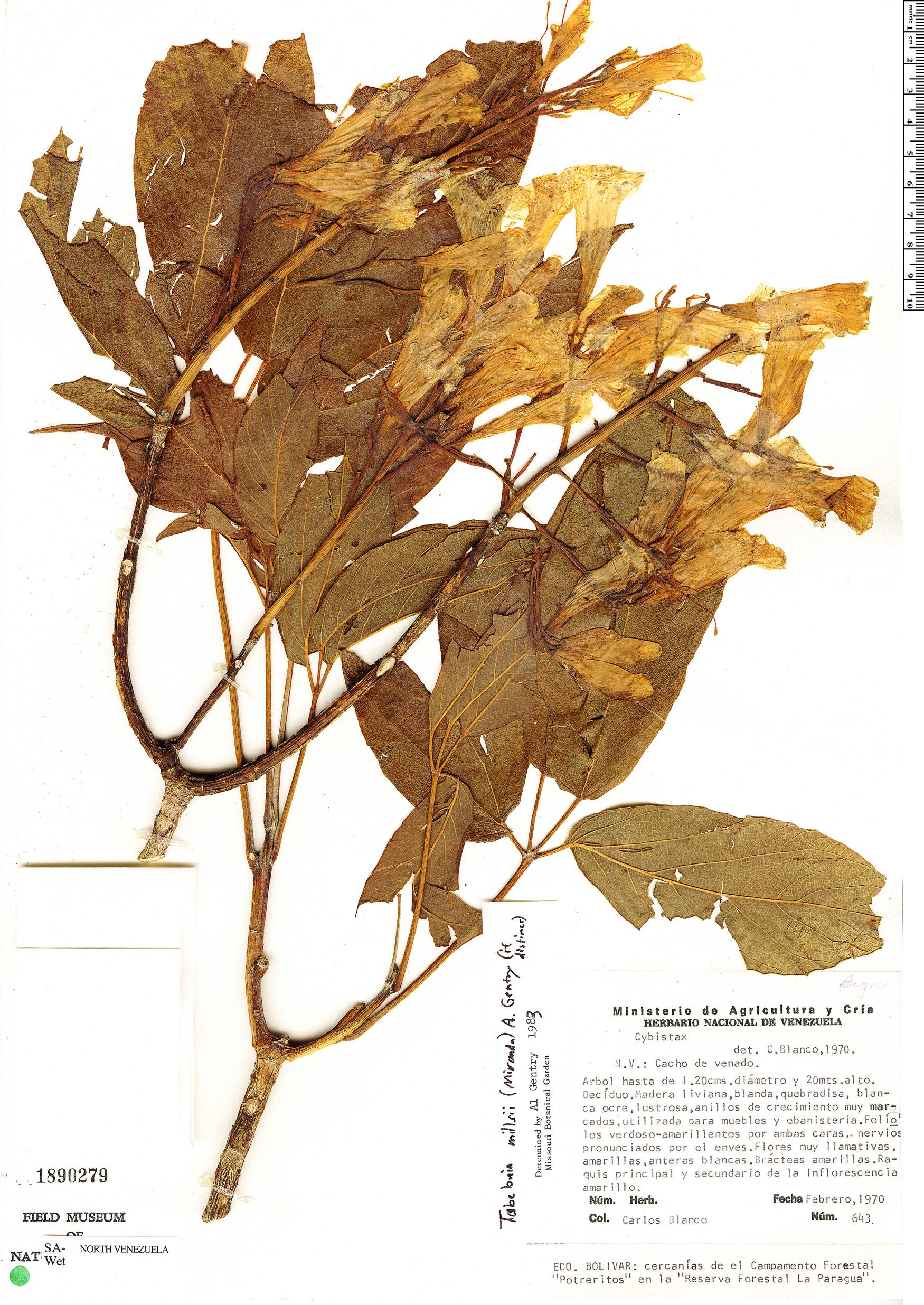 Specimen: Roseodendron donnell-smithii
