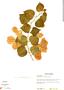 Bougainvillea glabra Choisy, Honduras, A. Midence 801, F
