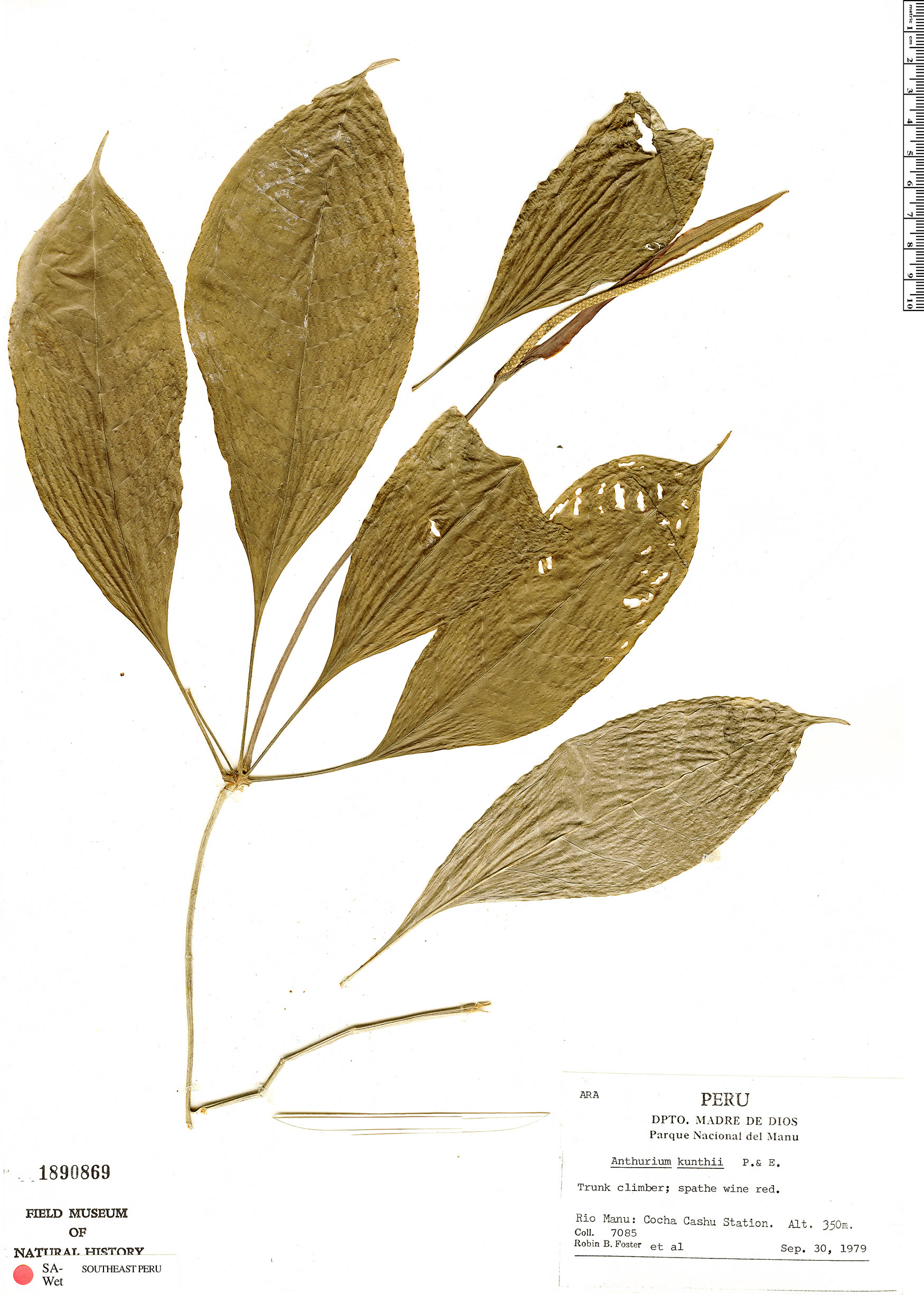 Specimen: Anthurium kunthii