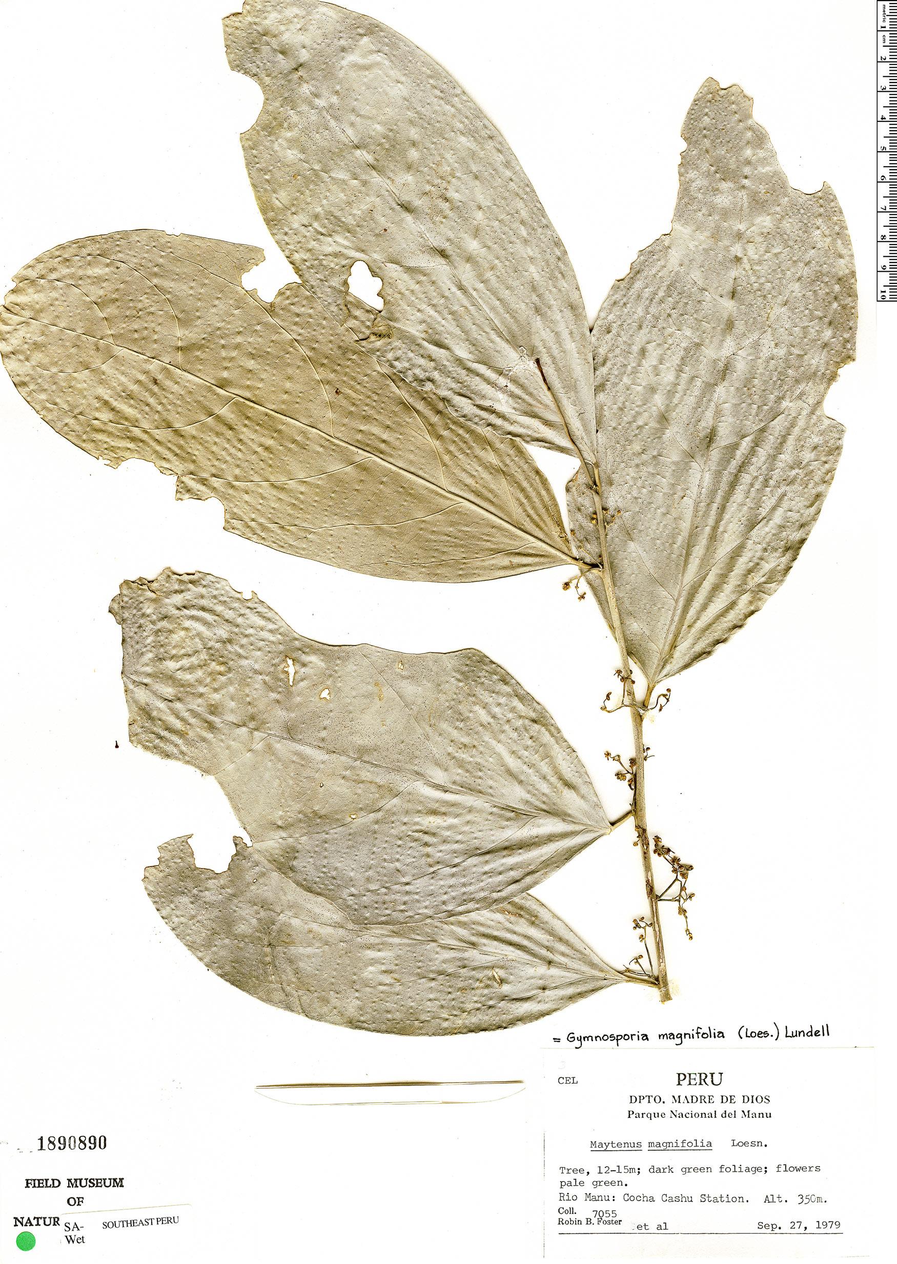 Specimen: Haydenoxylon urbanianum