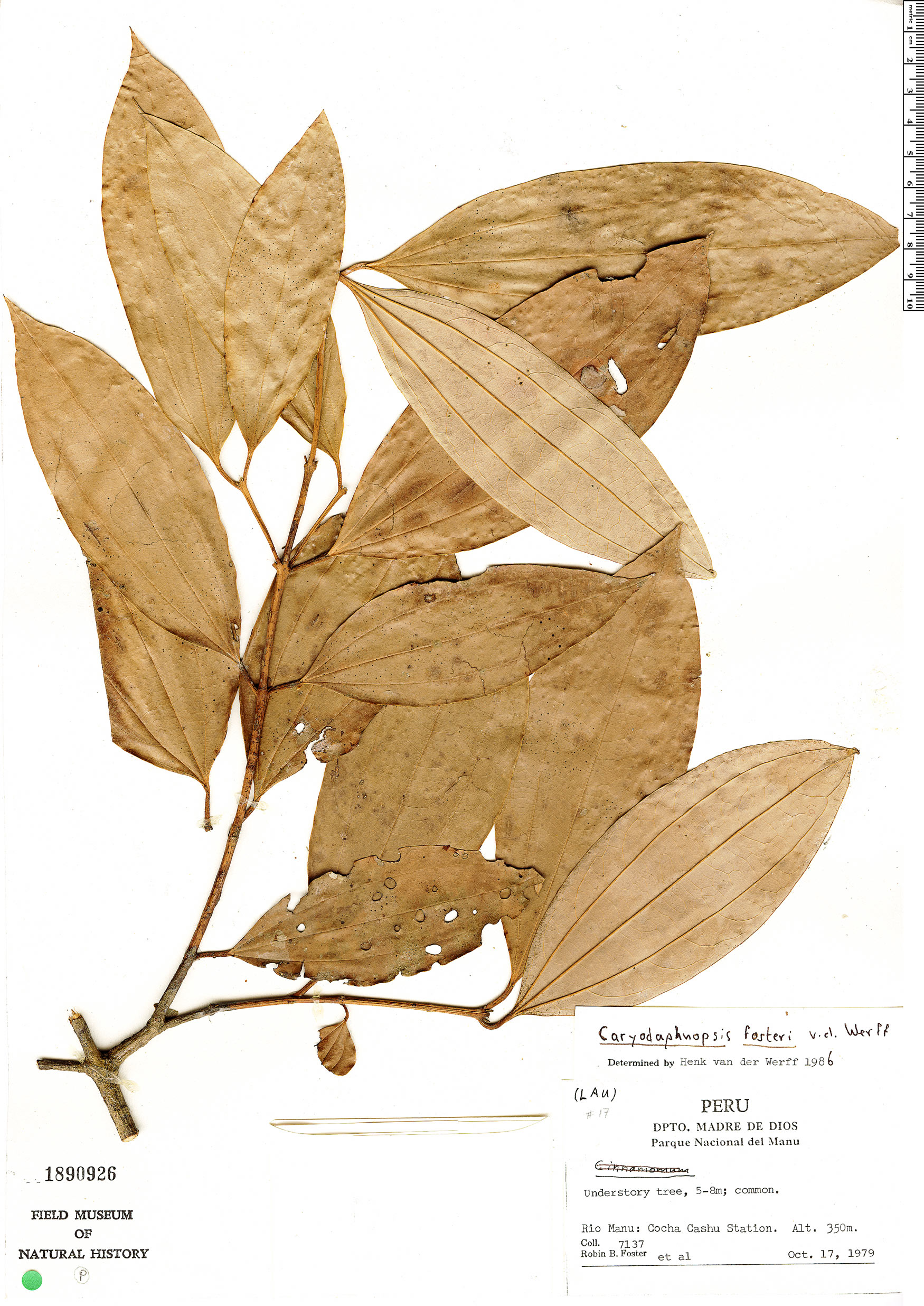 Espécimen: Caryodaphnopsis fosteri