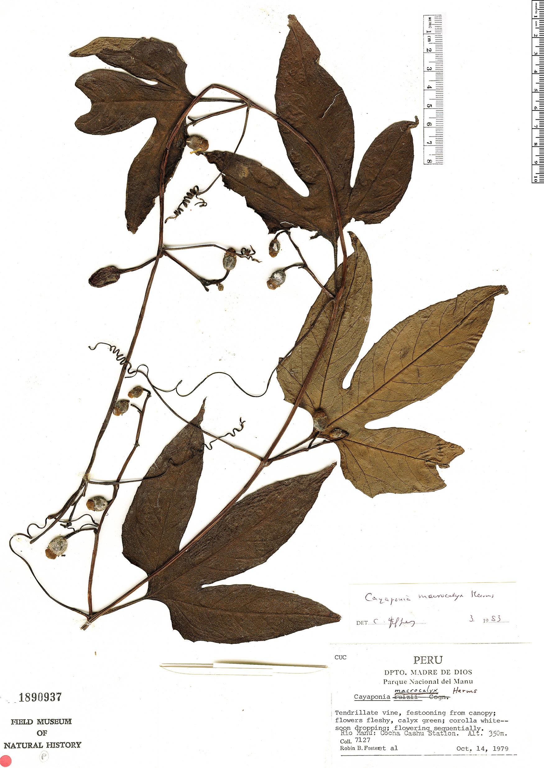 Specimen: Cayaponia peruviana