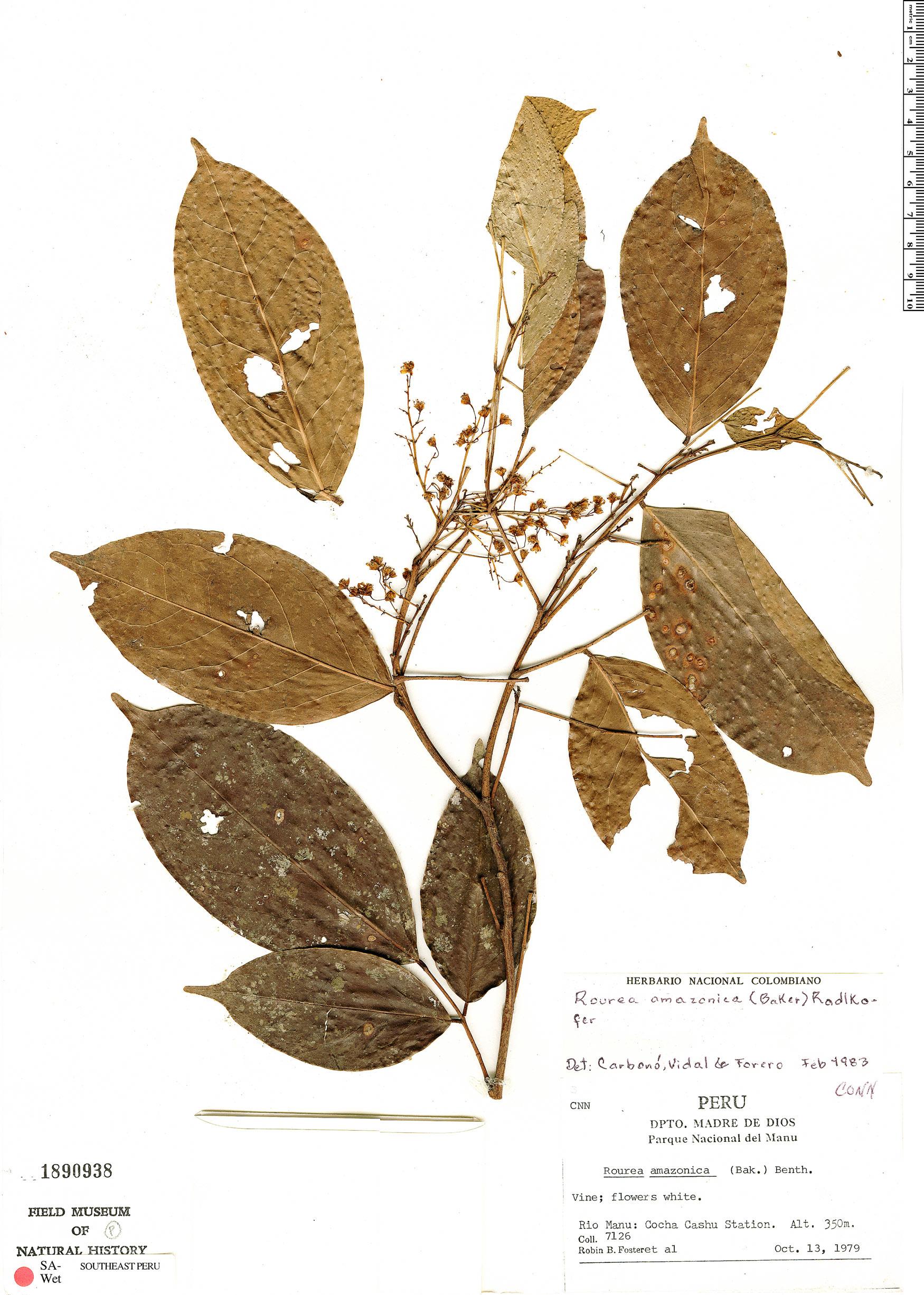Specimen: Rourea amazonica
