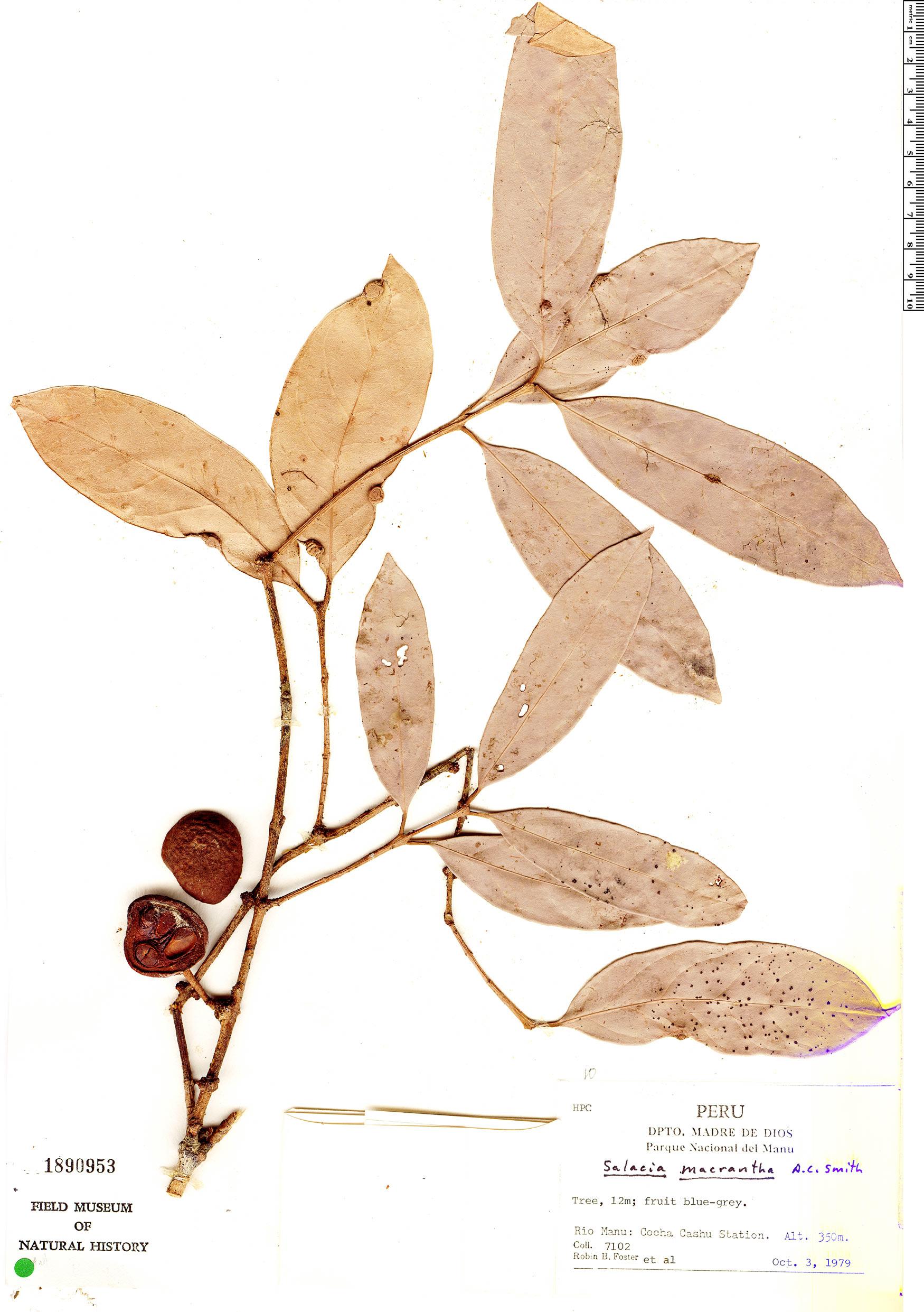 Specimen: Salacia macrantha