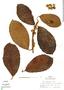 Ficus trigona L. f., Peru, R. B. Foster 7101, F