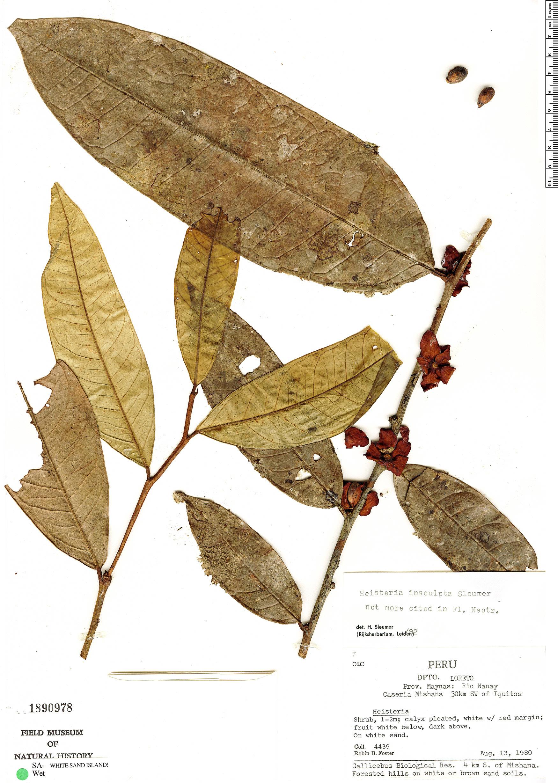 Specimen: Heisteria insculpta