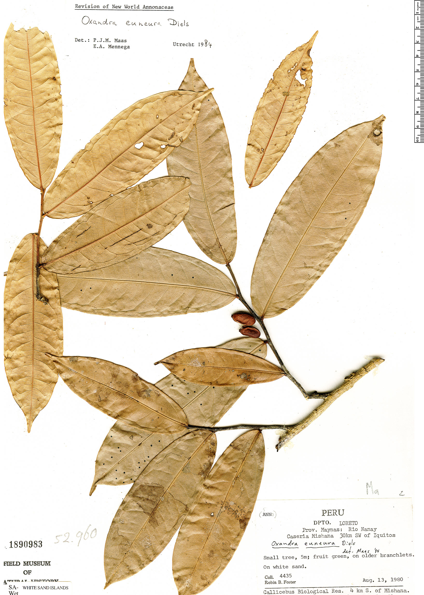 Specimen: Oxandra euneura