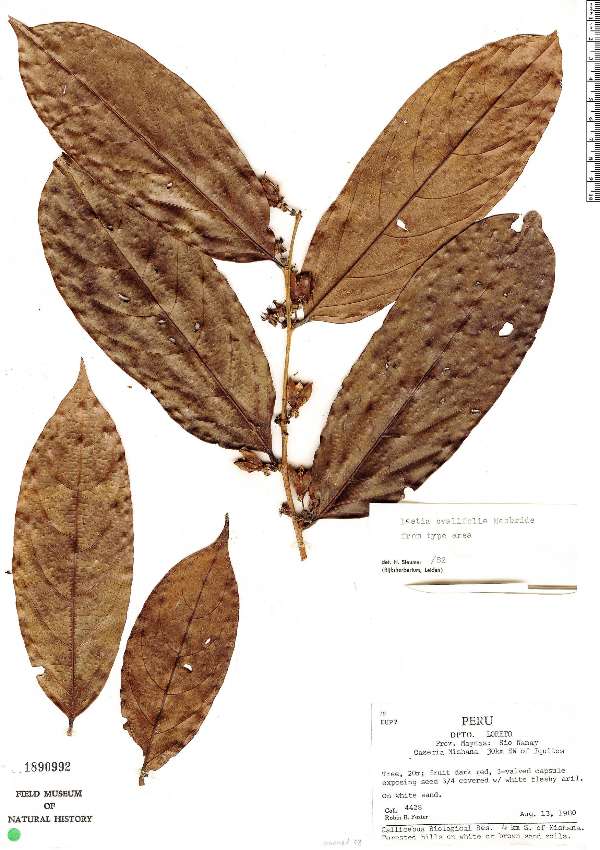Specimen: Laetia ovalifolia
