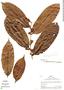 Laetia ovalifolia J. F. Macbr., Peru, R. B. Foster 4428, F