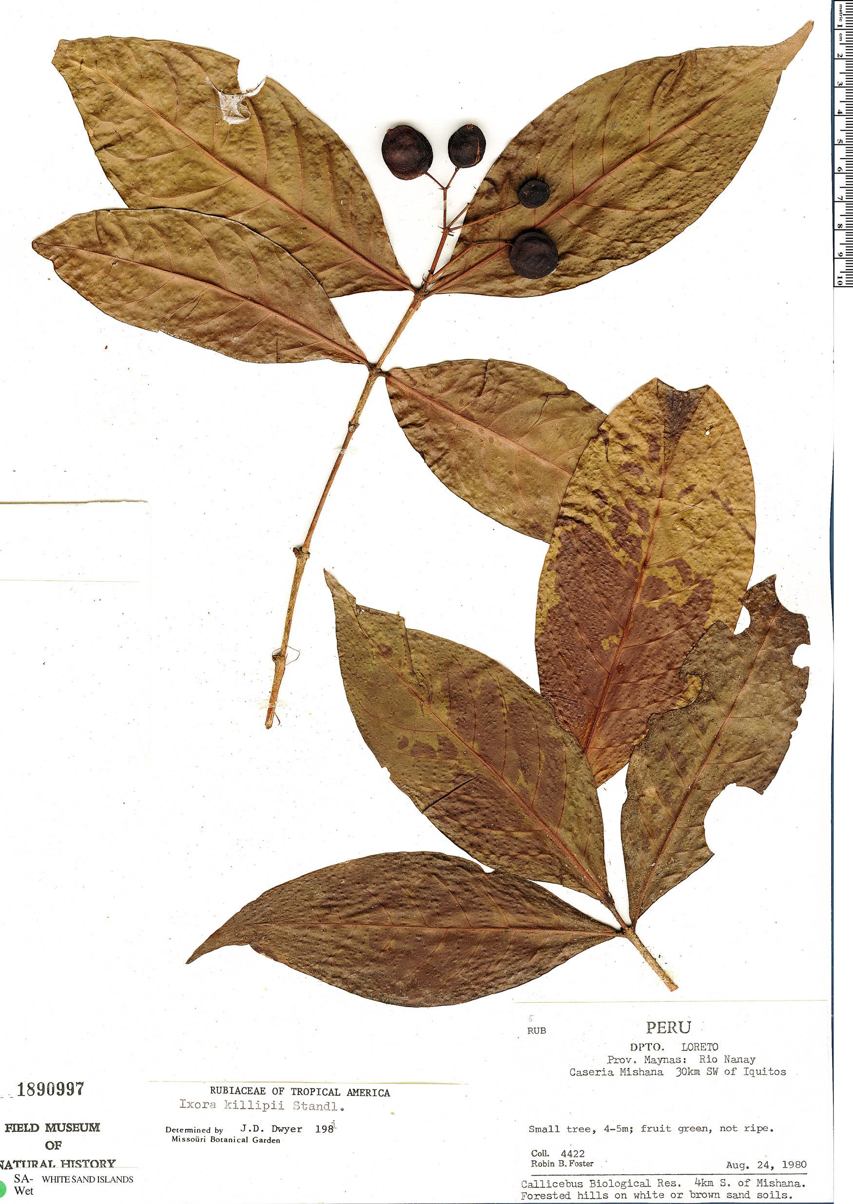 Espécimen: Ixora killipii