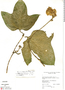 Gurania rhizantha (Poepp. & Endl.) C. Jeffrey, Peru, W. F. MacRae 44, F