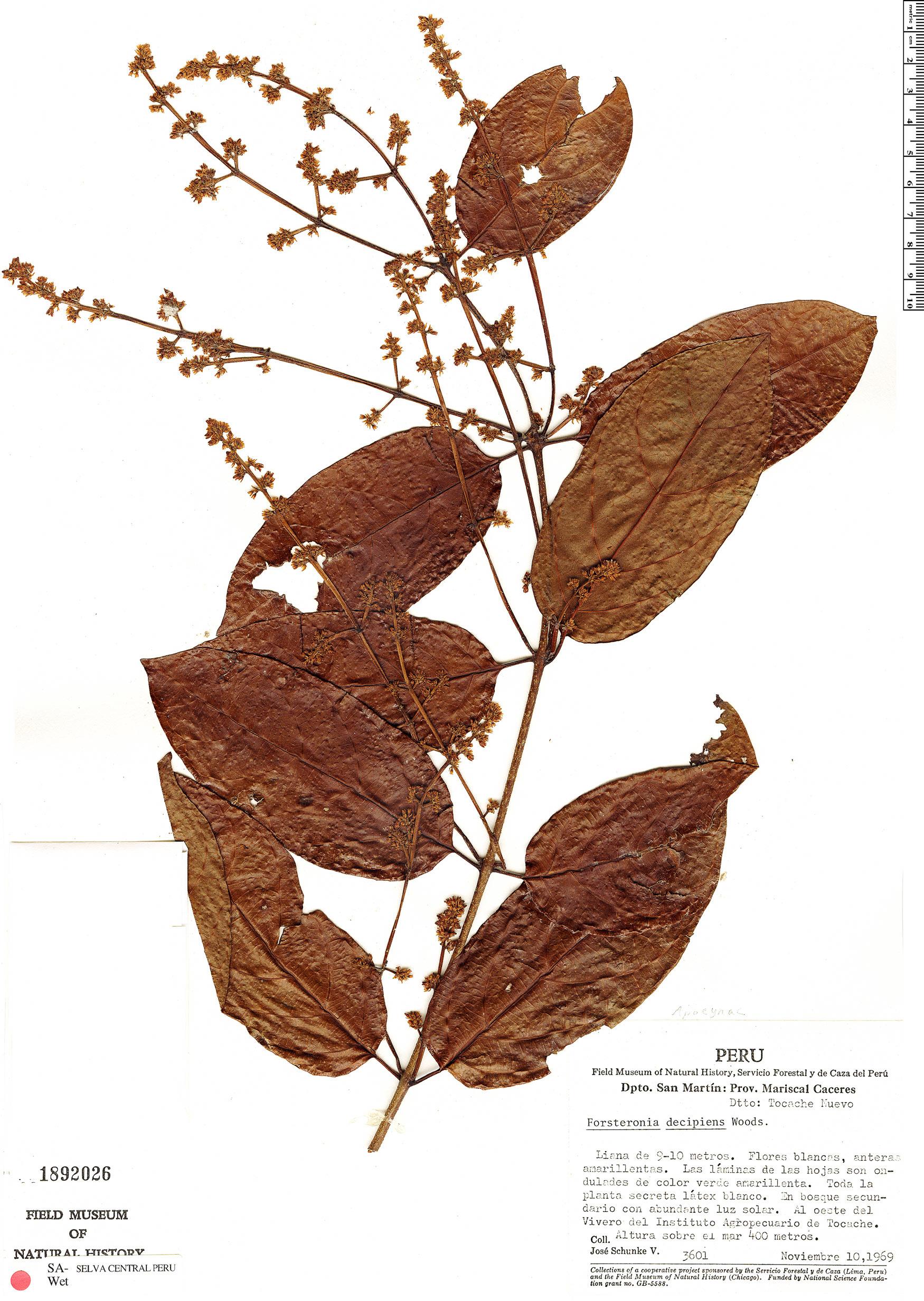 Espécimen: Forsteronia amblybasis