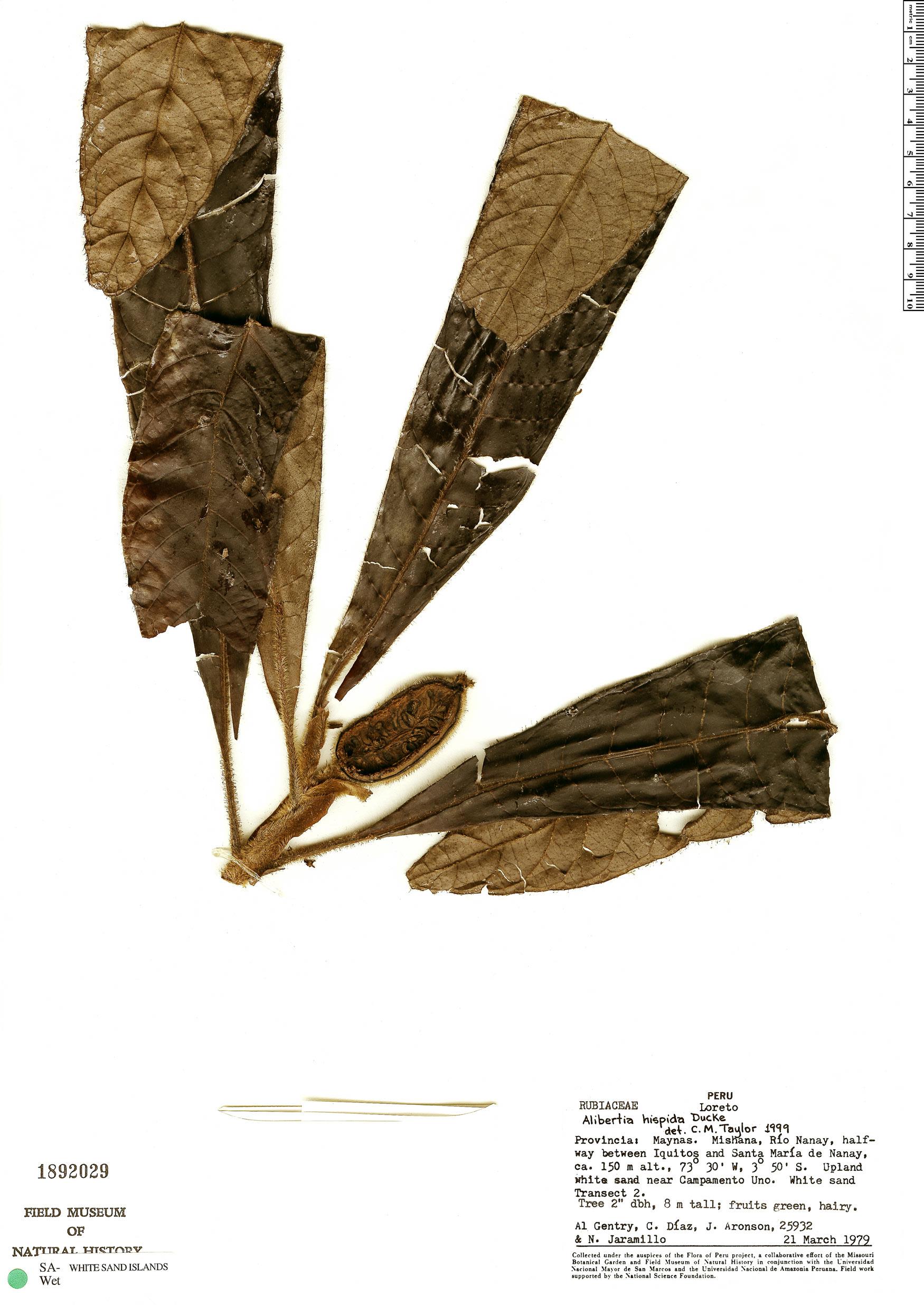 Specimen: Kutchubaea oocarpa