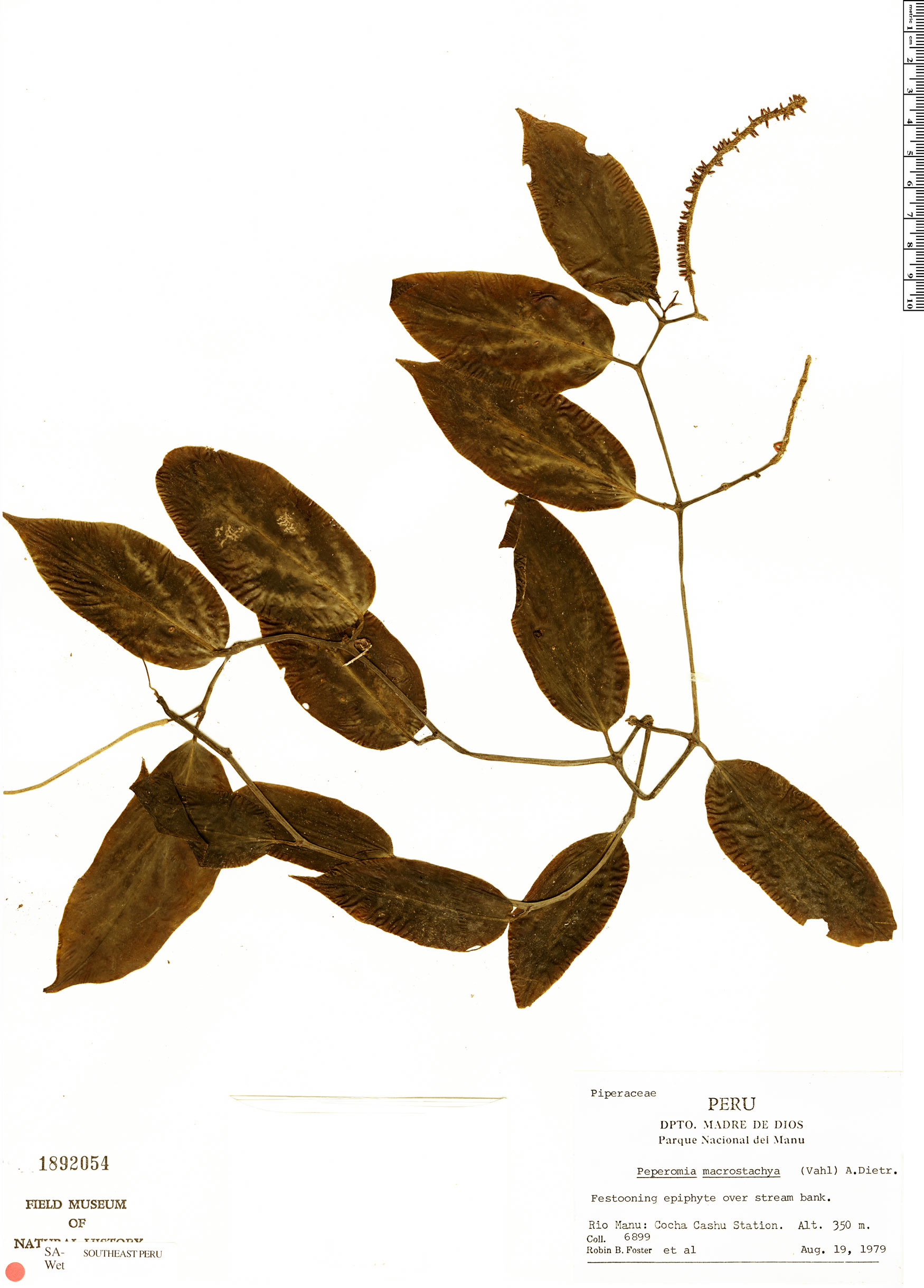 Specimen: Peperomia macrostachya