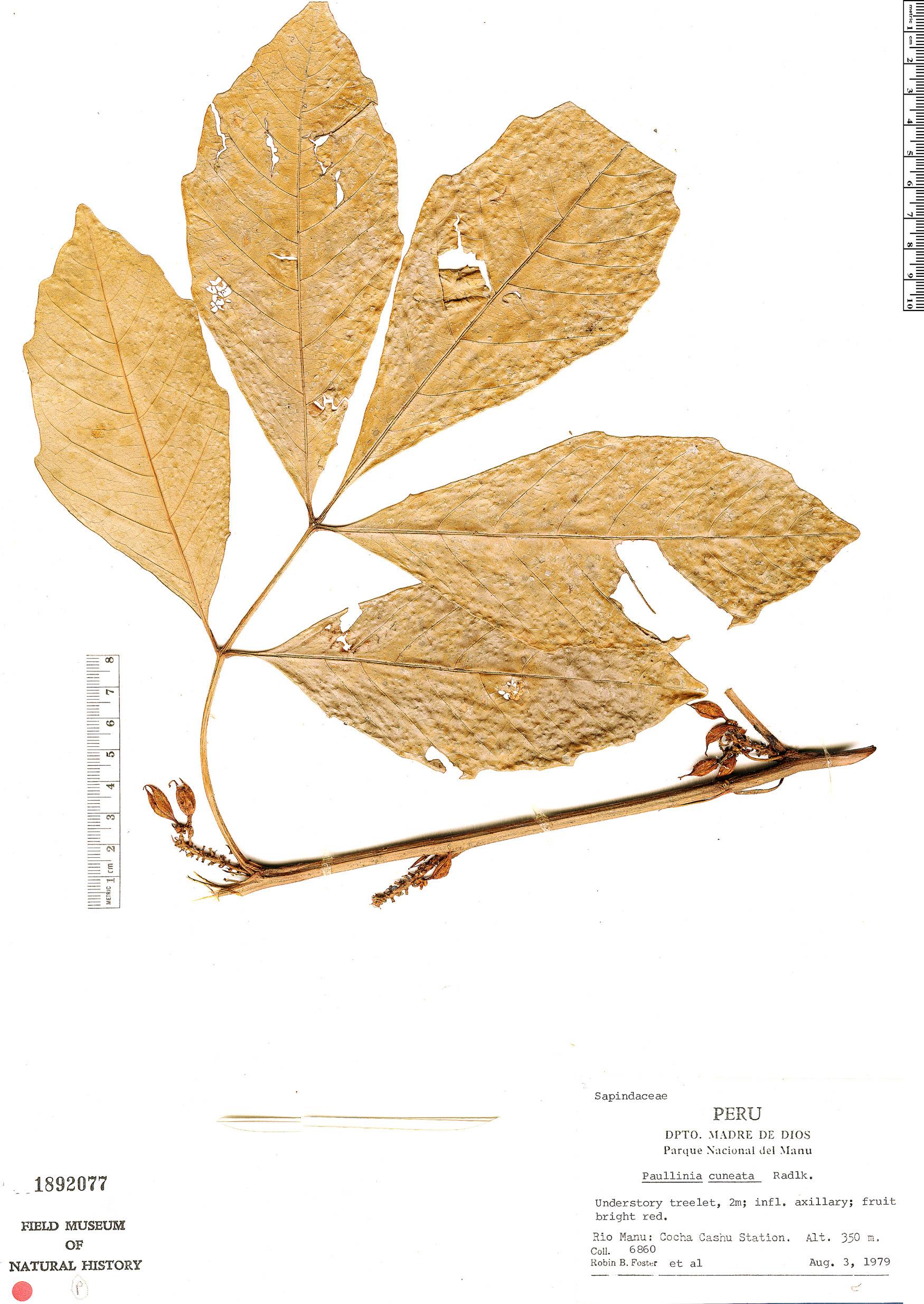 Specimen: Paullinia cuneata