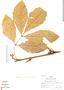 Paullinia cuneata Radlk., Peru, R. B. Foster 6860, F