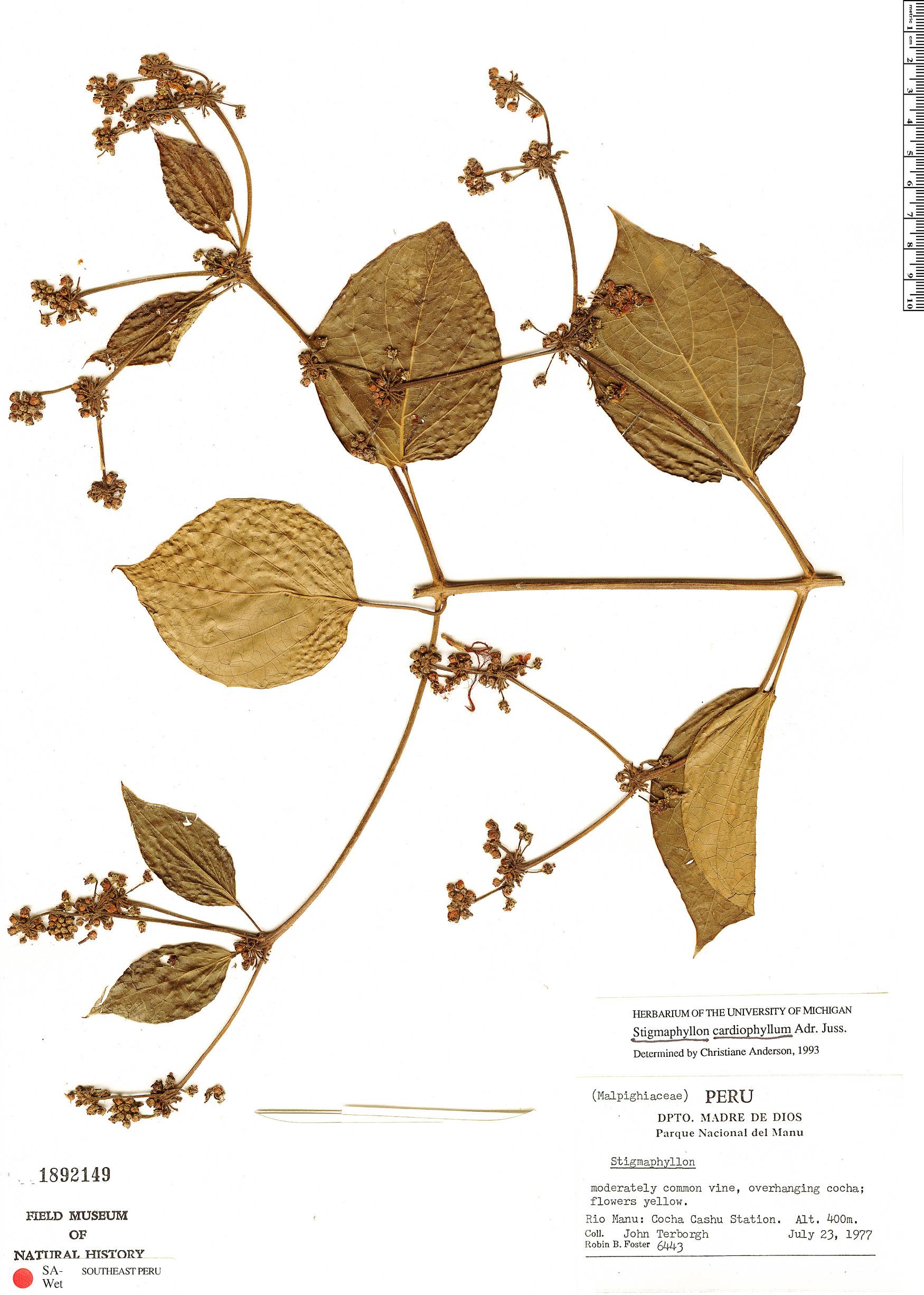 Specimen: Stigmaphyllon cardiophyllum