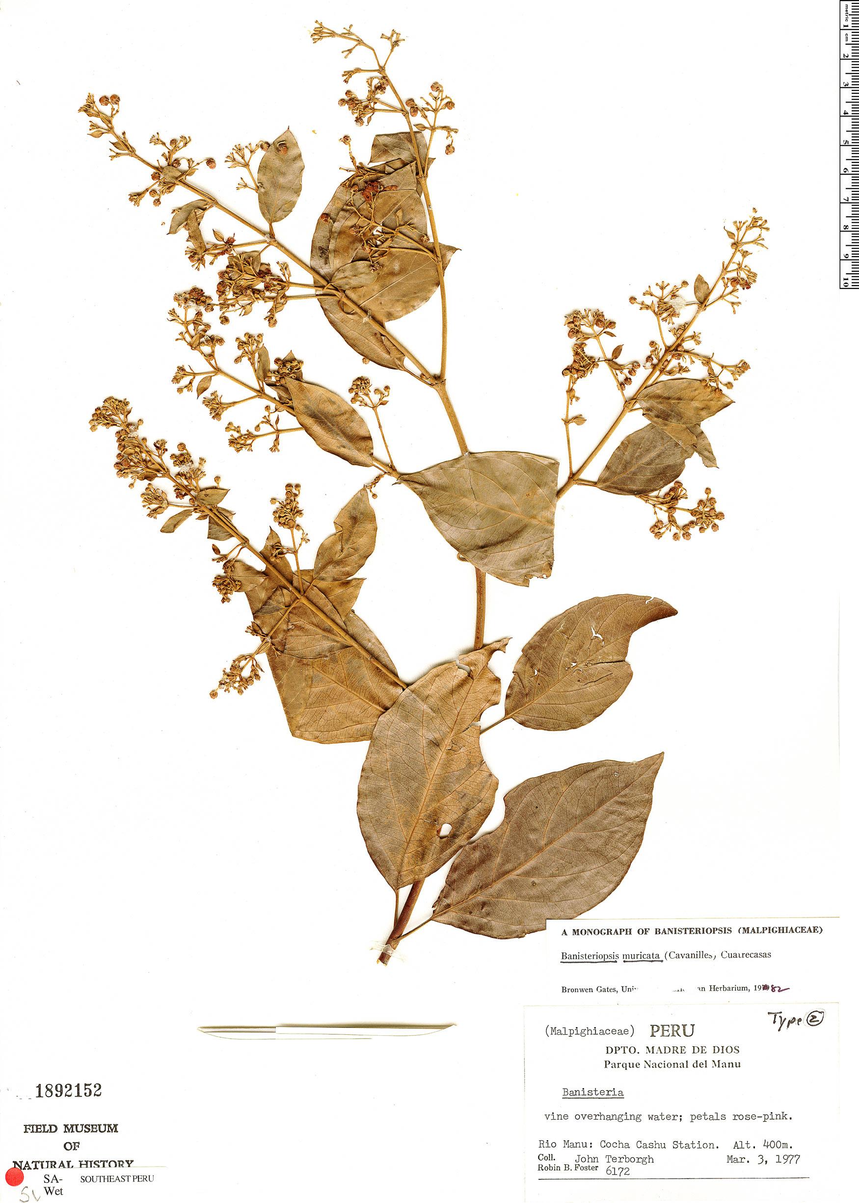 Espécimen: Banisteriopsis muricata