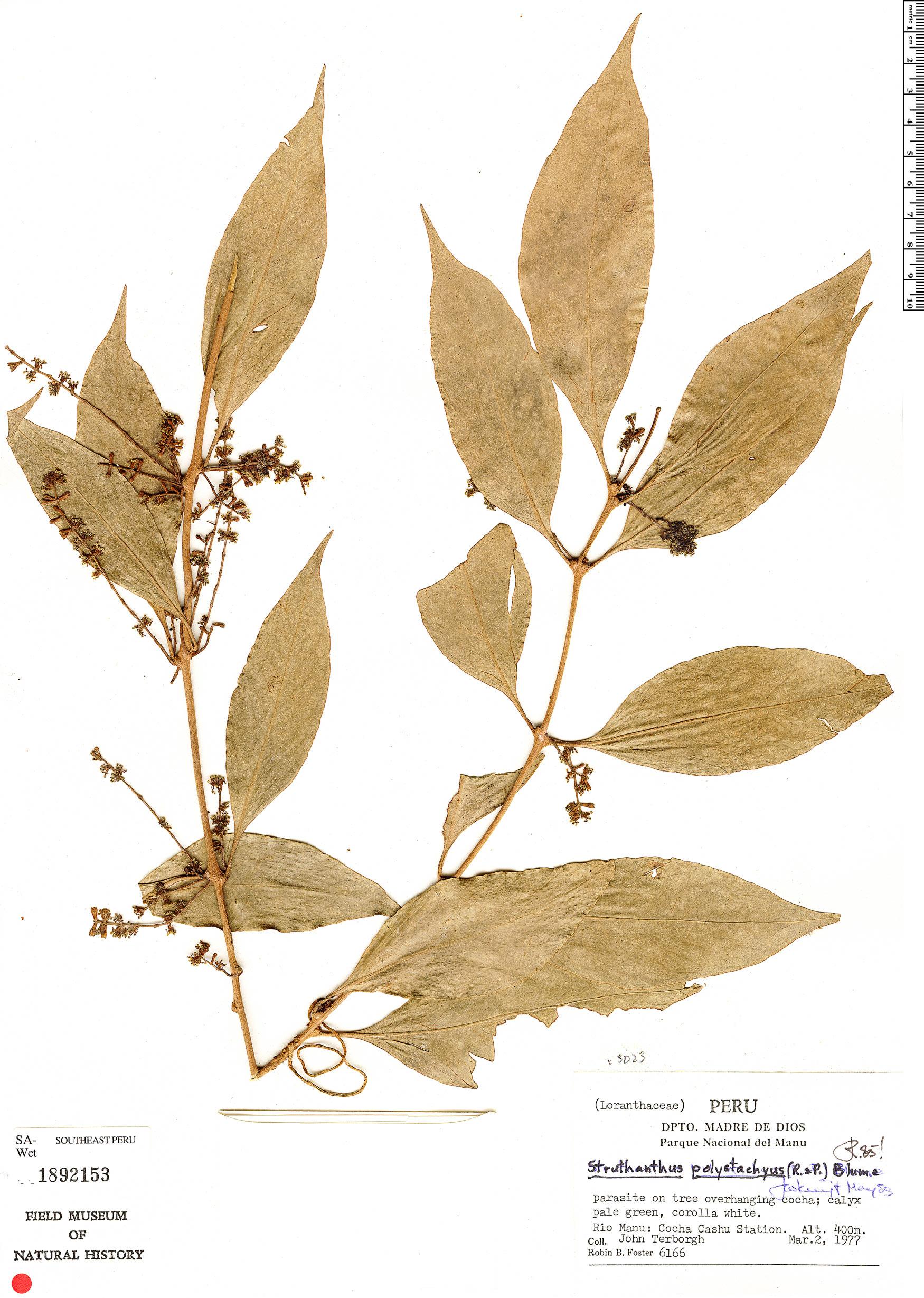 Specimen: Peristethium polystachyum