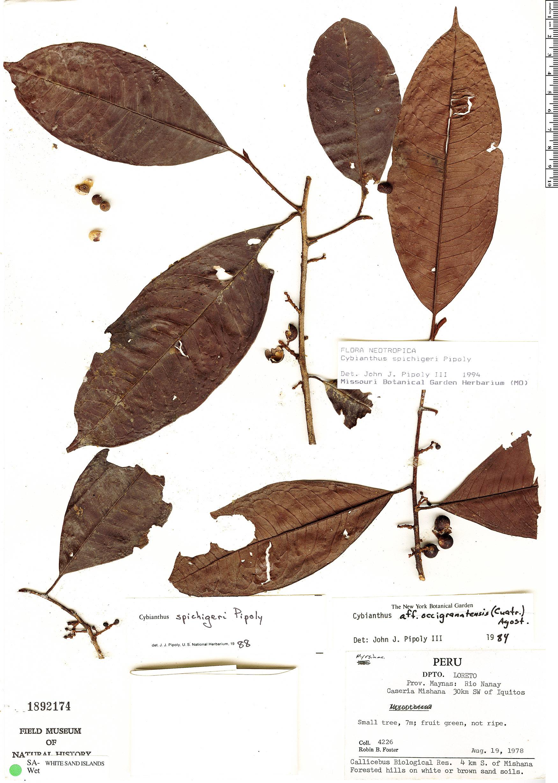 Specimen: Cybianthus spichigeri