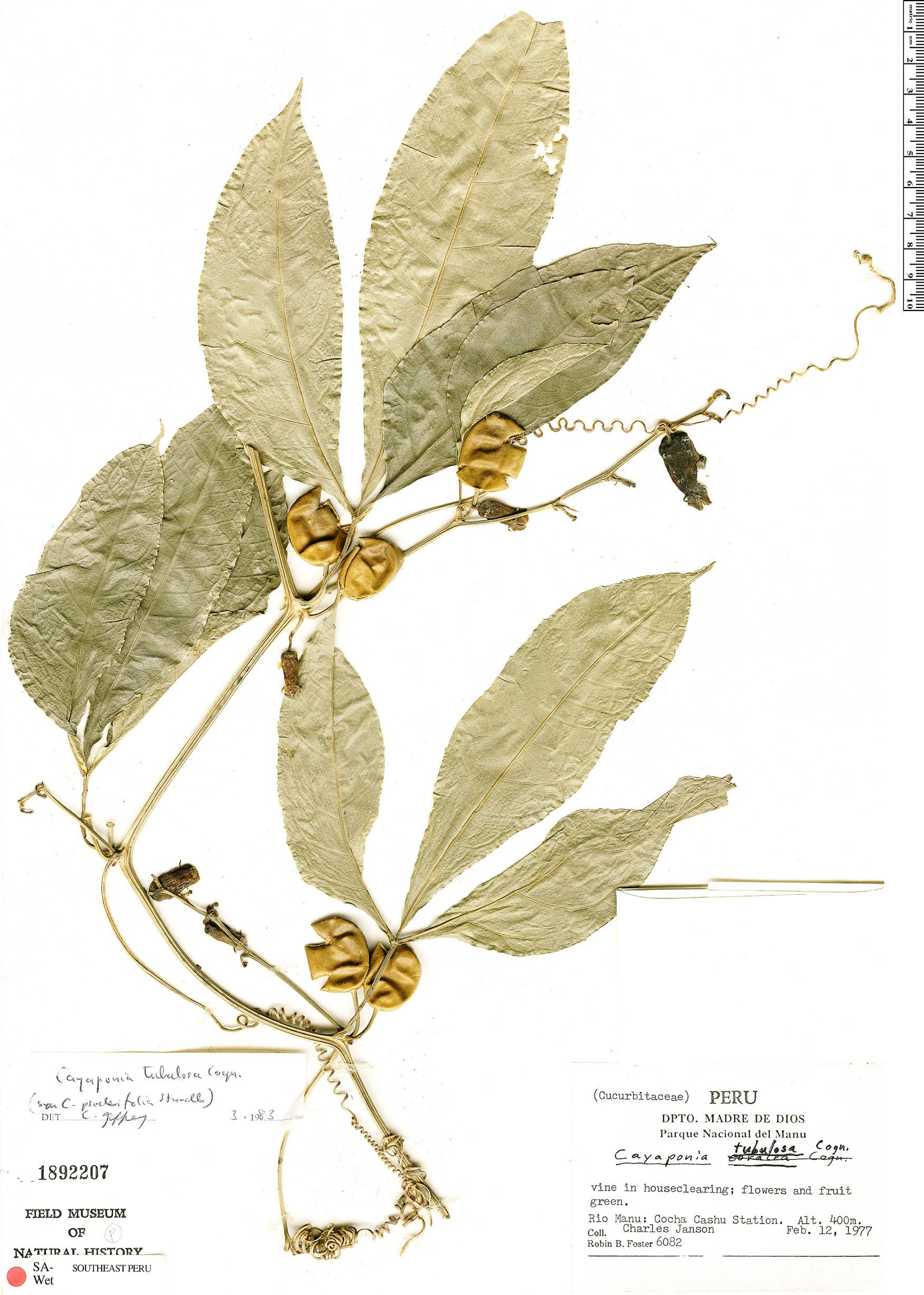 Specimen: Cayaponia tubulosa