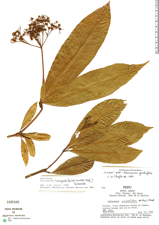 Specimen: Palicourea corymbifera