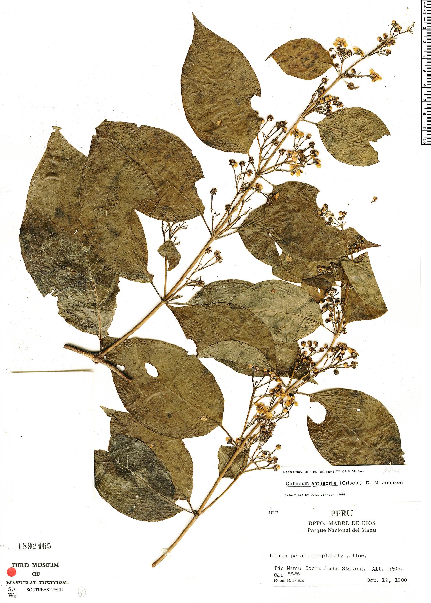 Specimen: Callaeum antifebrile
