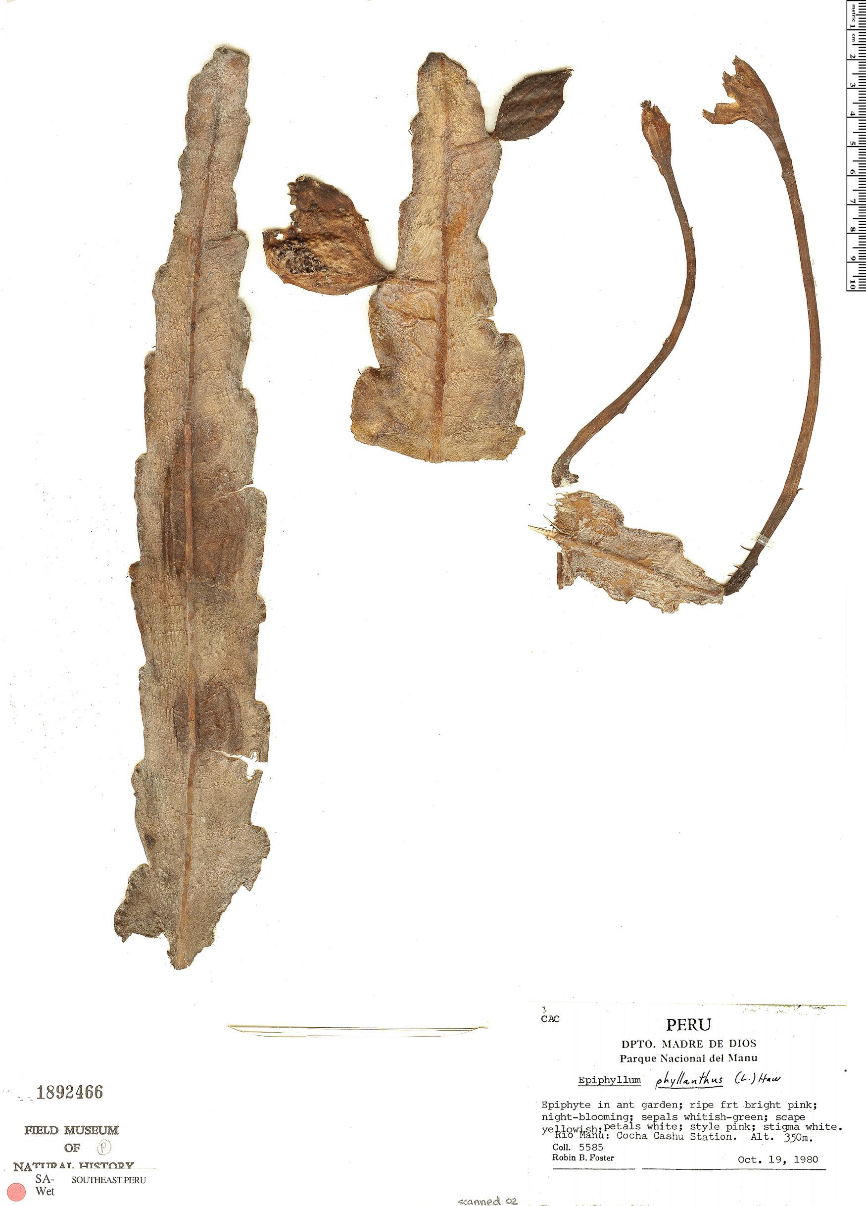 Specimen: Epiphyllum phyllanthus
