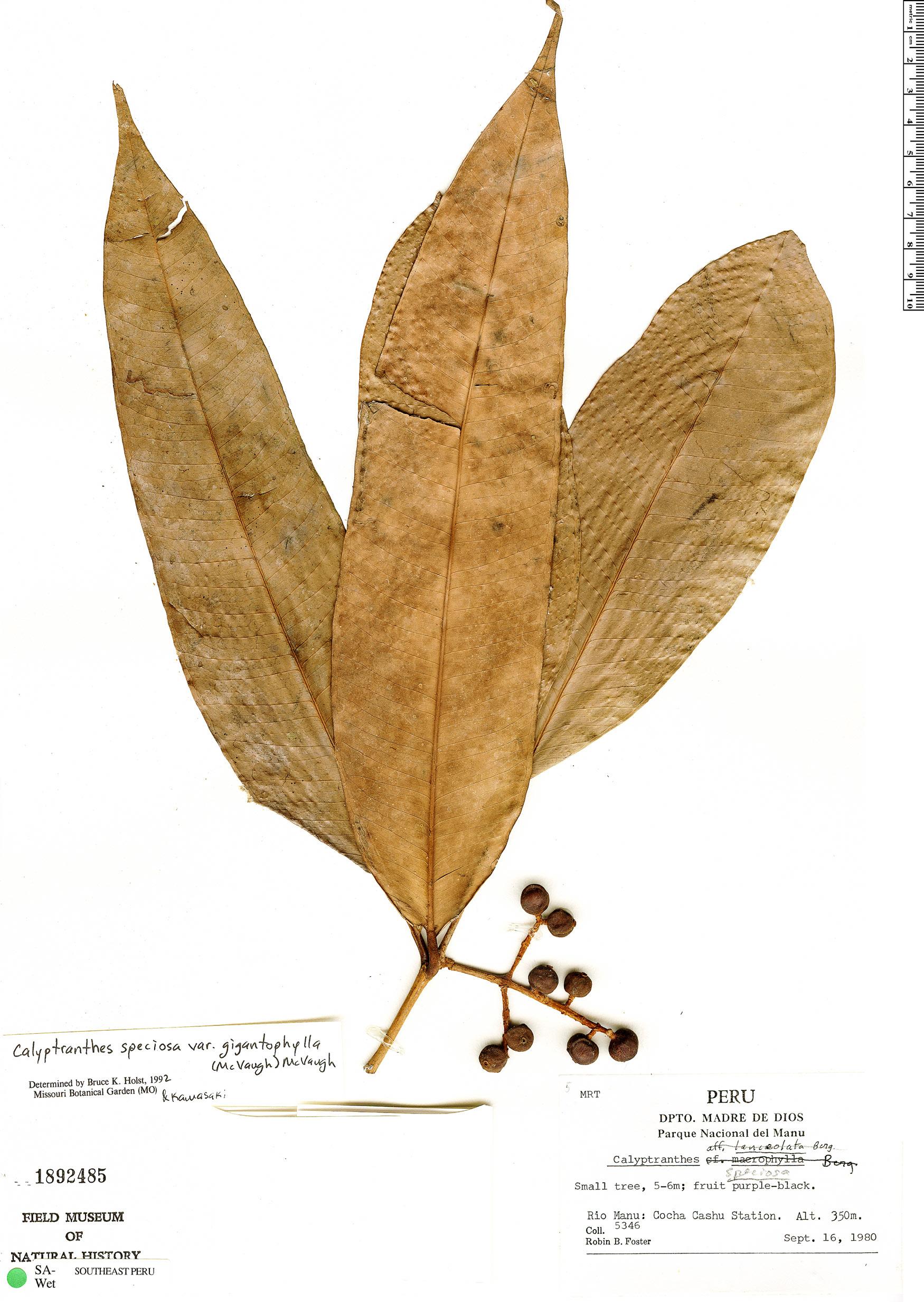Espécime: Calyptranthes speciosa