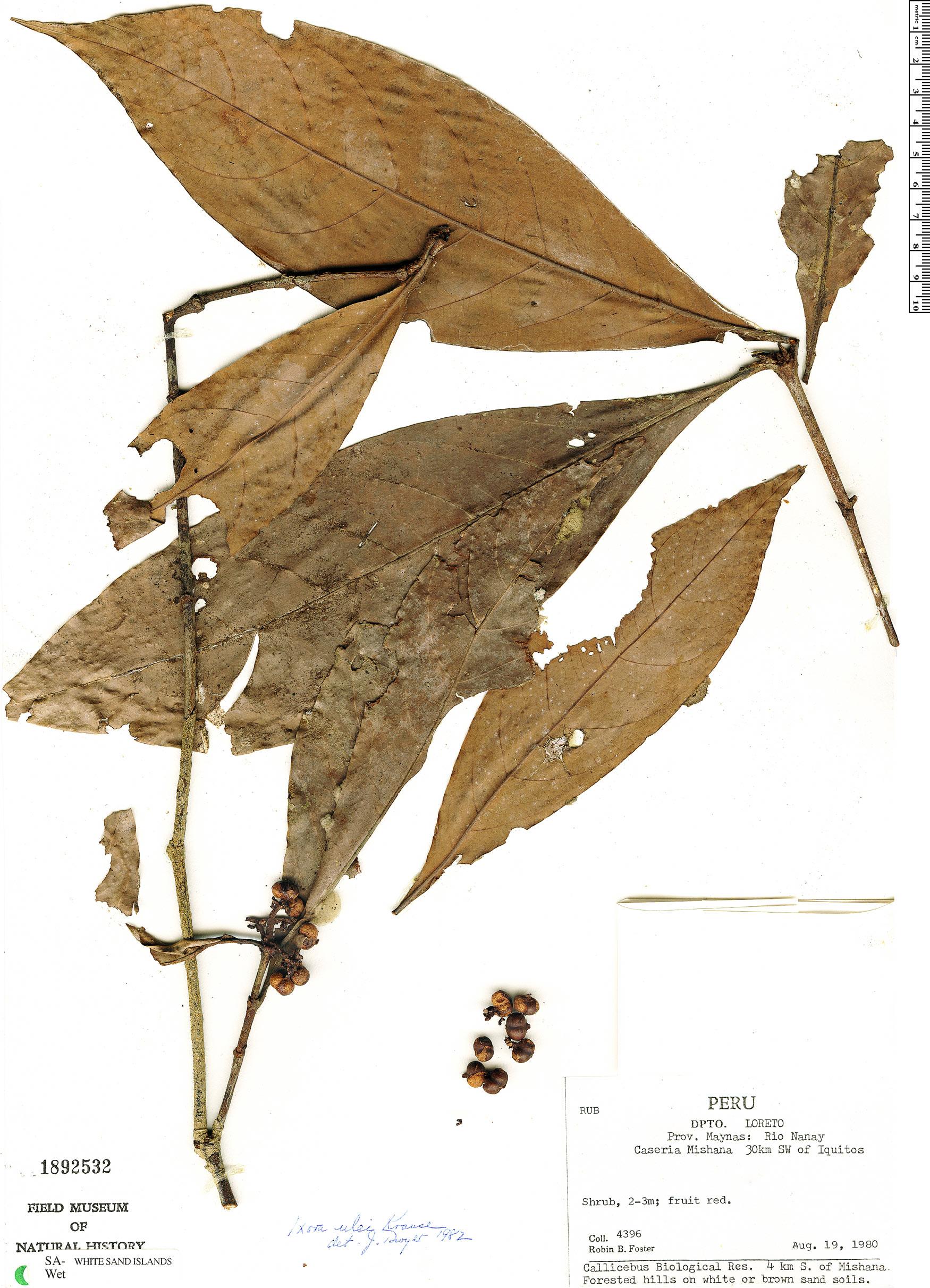 Espécime: Ixora ulei