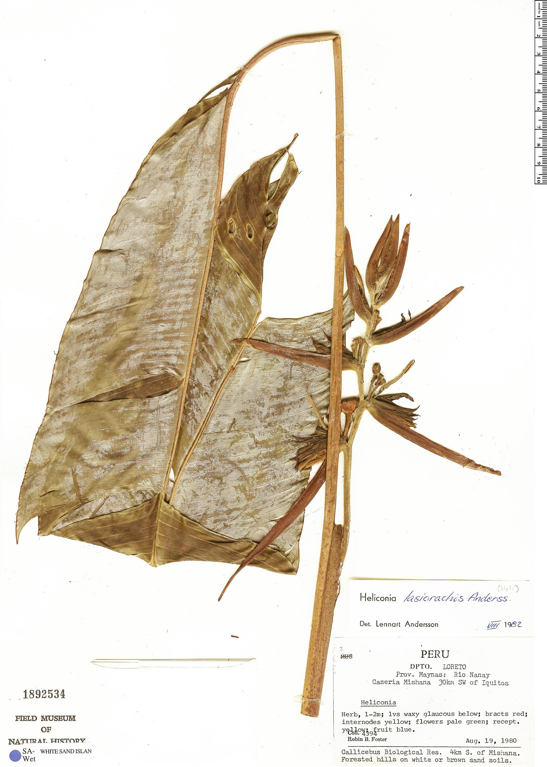 Specimen: Heliconia lasiorachis