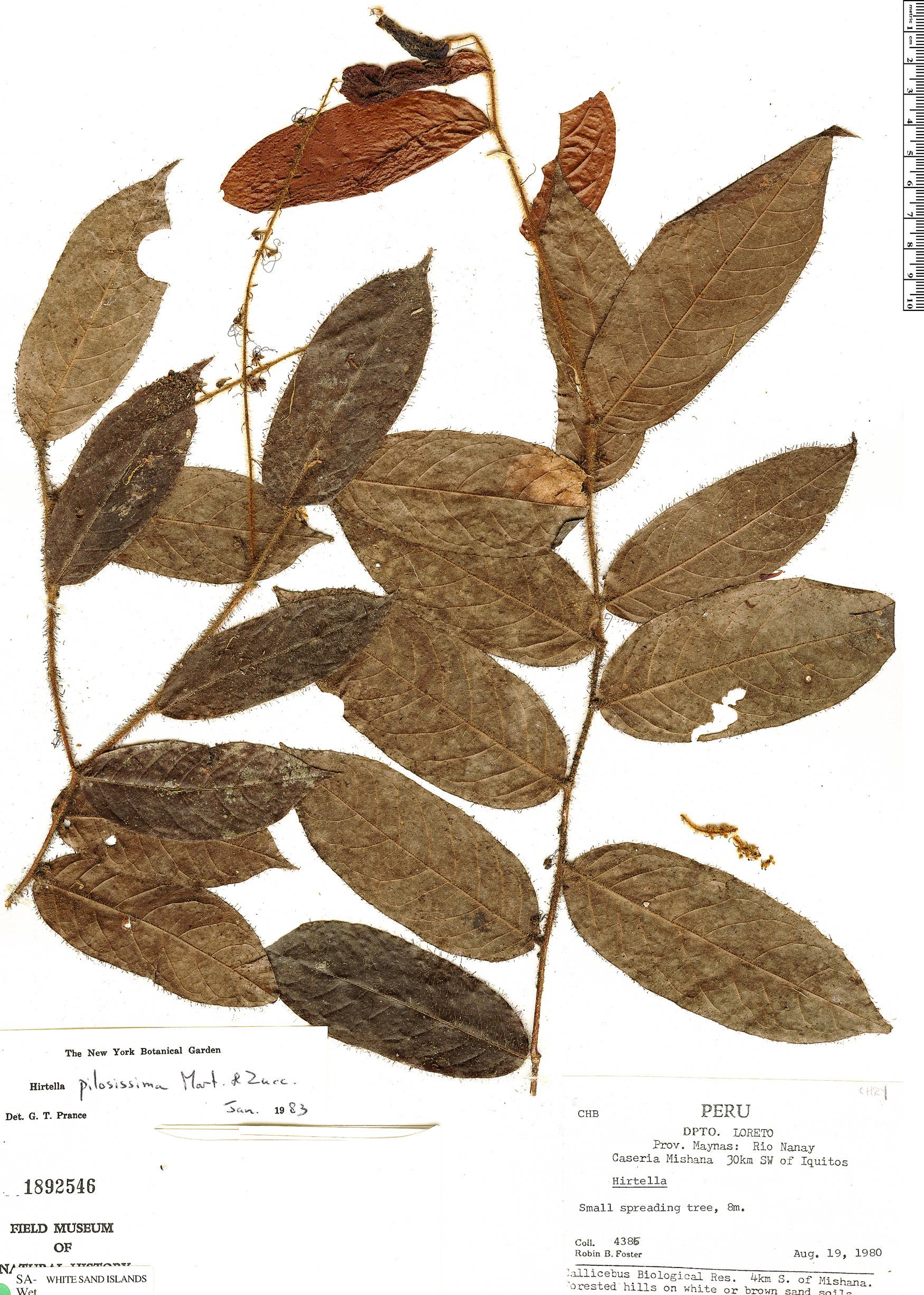 Specimen: Hirtella pilosissima