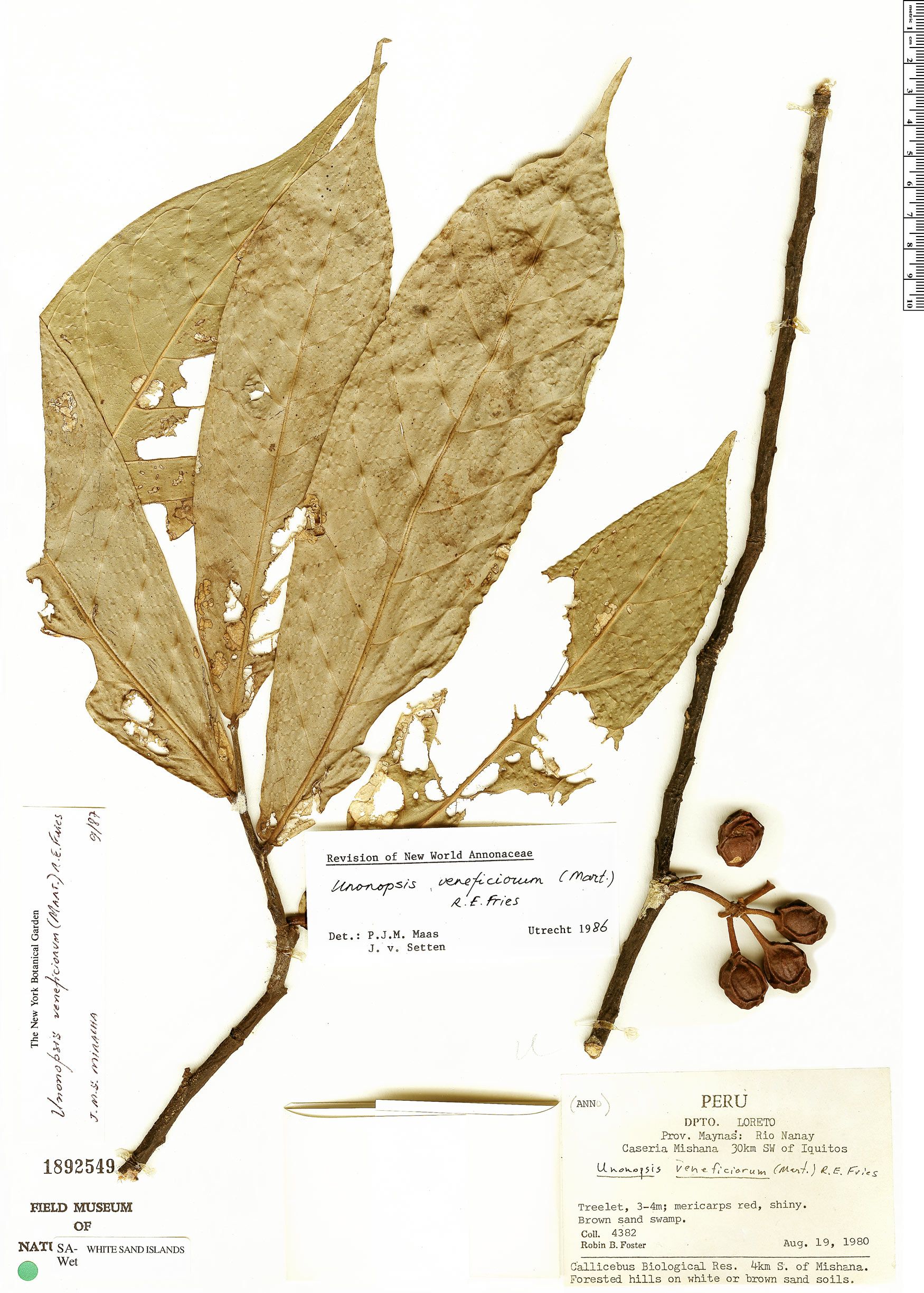 Specimen: Unonopsis veneficiorum